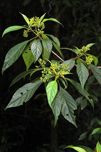 Abrophyllum ornans