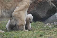 Huggies Nachwuchs im Ouwehands Dierenpark
