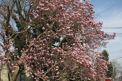 Magnolia already blooming