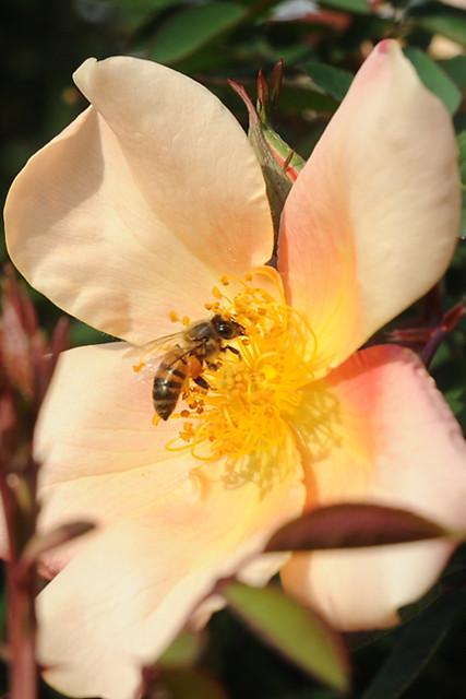 Bee on 'Mutabilis' rose
