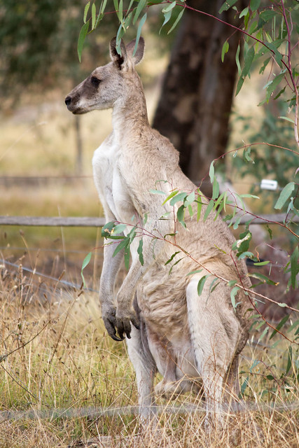 Kangaroo Swain St 2012-02-15 (_MG_2543)