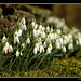 Snowdrops in Heptonstall