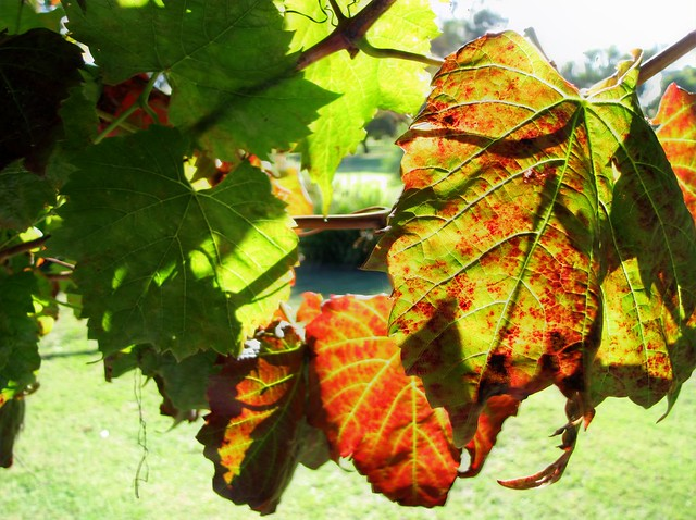 Autumn Vine leaves