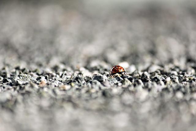 ladybug bum