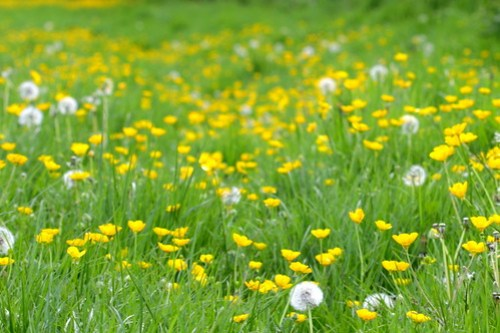 Buttercup and dandelion meadow