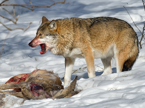 Wolf-eating