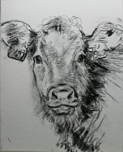 Calf, drawing