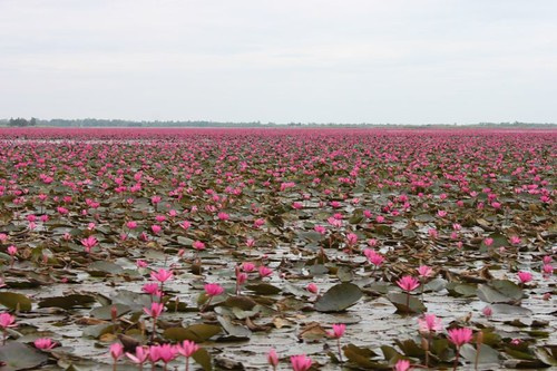 20120113_1690_pink-water-lilies
