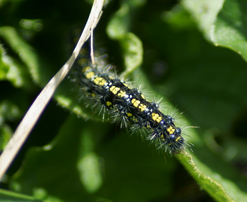Scarlet Tiger Moth (Callimorpha dominula) caterpillar