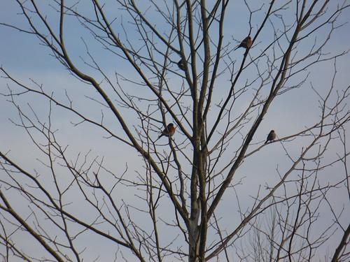 4 bluebirds in a tree, again by rjknits