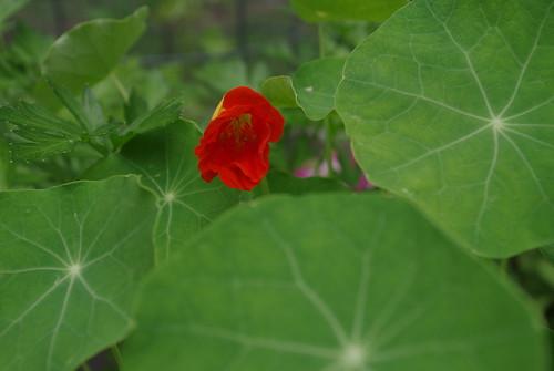 nasturtium blooming!
