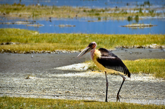 Bird off Lake Nakuru