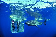 Caged Shark Diving near Cape Town