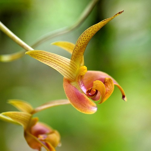 bulbophyllum lobii orchid