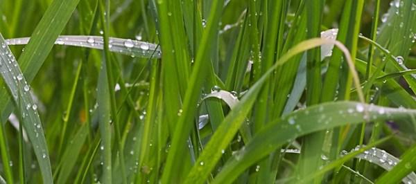 Herbe sous la pluie
