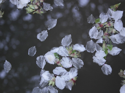 plucking the petals of almond in a rainy day by Rossella Sferlazzo