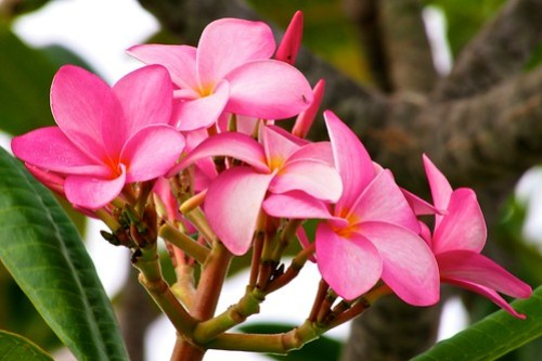 Pink Frangipani Blossoms