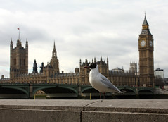 Sea Gull in London