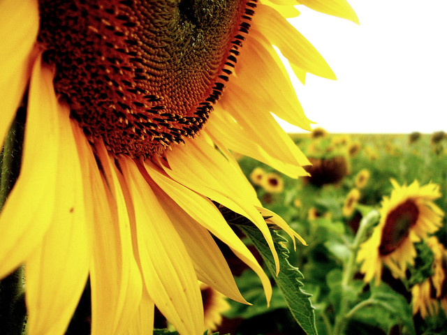 sunflower near ventersdorp