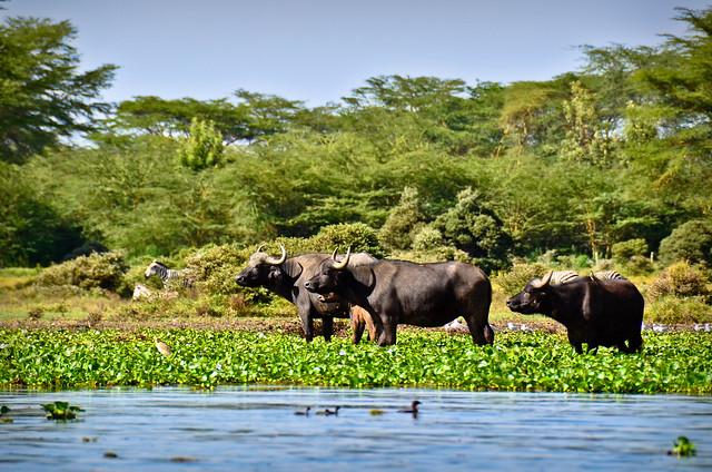 Water Buffalo 3