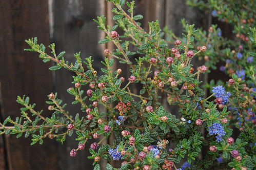 Ceanothus 'Dark Star' - New Growth