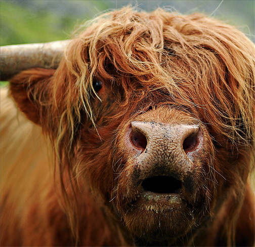 Highland_Cow_Rob_Manning