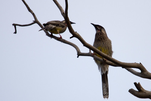 Red Wattlebird 2012-03-2012 (_MG_5198)