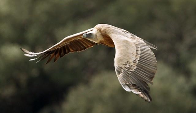 2012_03_03 MON - Griffon Vulture (Gyps fulvus) 04