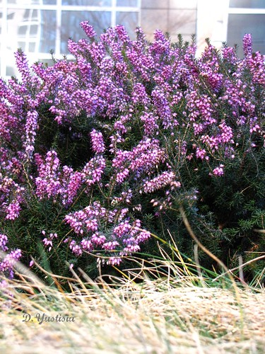 Winter Heather at Irish Hunger Memorial