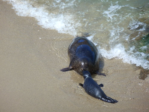 CA - SD  3-19-12 017 Children's Pool Seal Mom & Pup