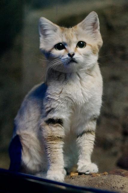 Alert Sand Cat