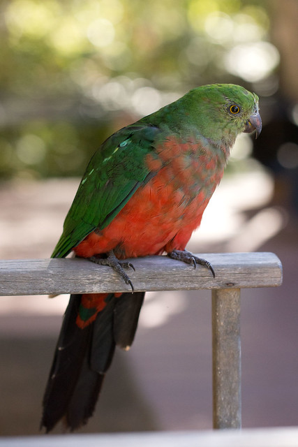 Australian King Parrot (female) 2012-02-17 (_MG_2753)