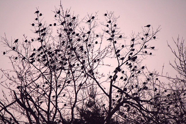 morningbirds