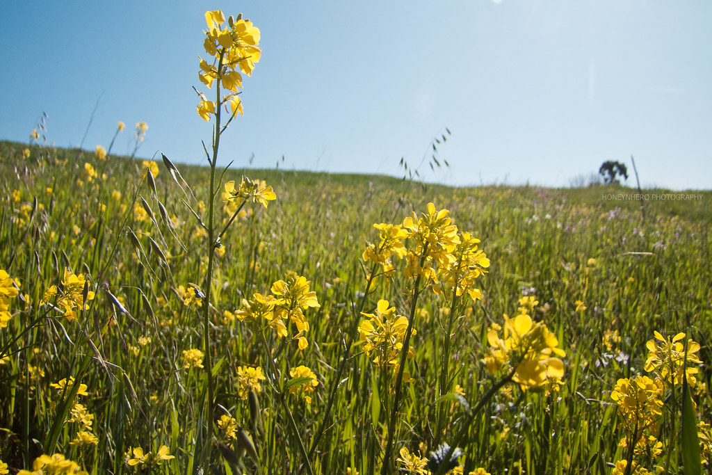 Wild mustard flower, Garin dry creek Pioneer regional park