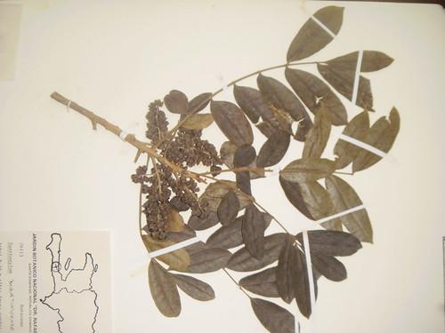Zanthoxylum martinisensis