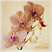Orchid, painterly effect, for Beyond Layers with Kim Klassen