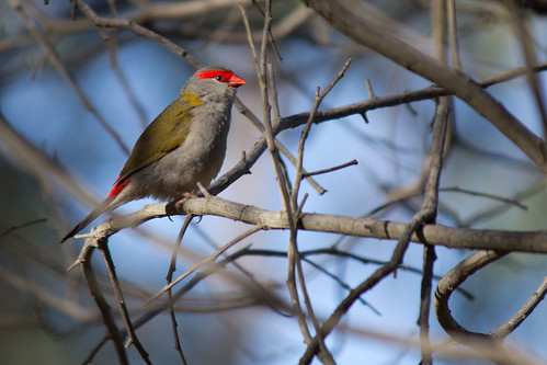 Red-browed Firetail 2012-02-12 (_MG_2380)