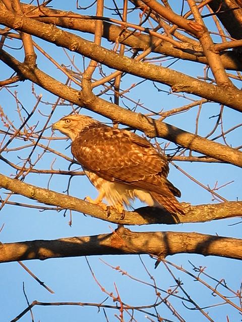 Suburban Hawk 03