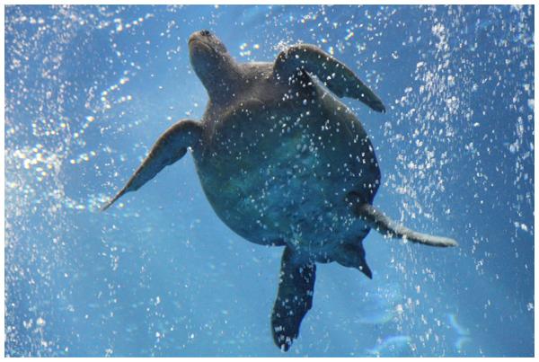 Sea Turtles at the Monterey Bay Aquarium