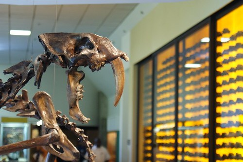Smilodon at the Page Museum at the La Brea Tar Pits