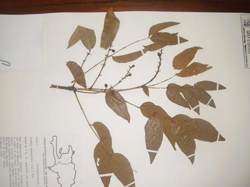 Stahlia monosperma