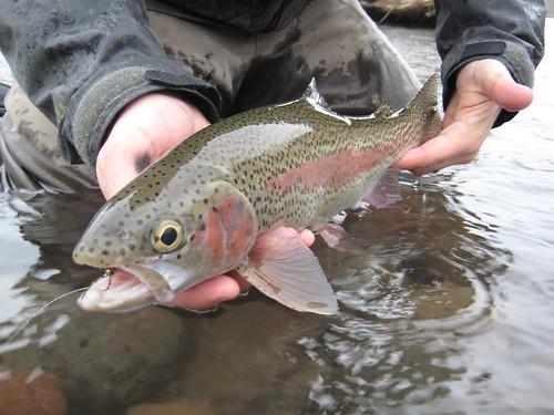 McKenzie River Wild Rainbow Trout