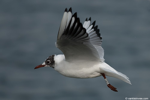 Black-headed Gull, 3cy, W[E5RT]