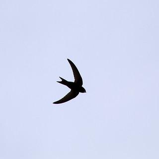 Common Swift (Apus apus) silhouette
