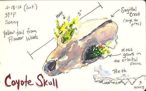 20120218_coyote_skull