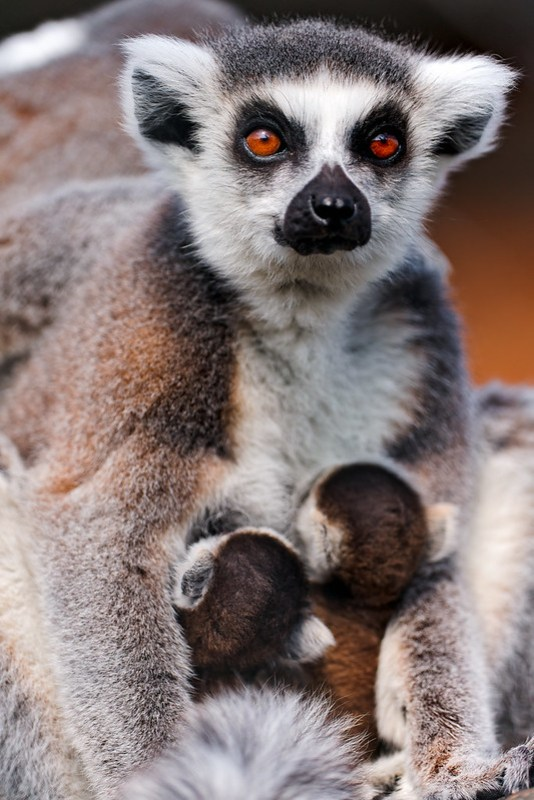 Lemur mother with two babies