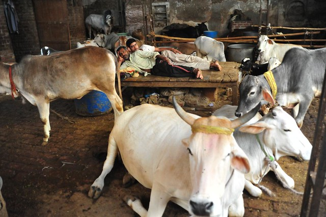 Gopis and Cattle are plenty