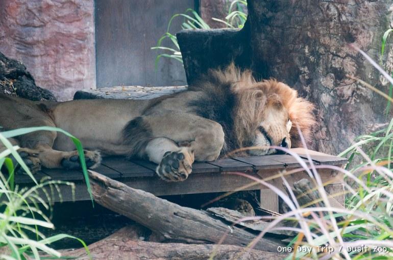 Dusit zoo - สิงโต