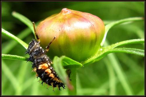 IMG_5378 King Kong Ladybug 7-3-11