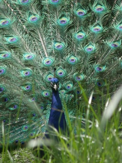 peacock in full bloom
